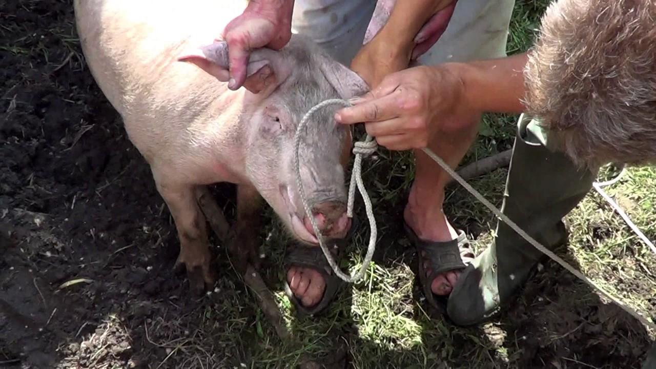 Чтоб свинья не рыла