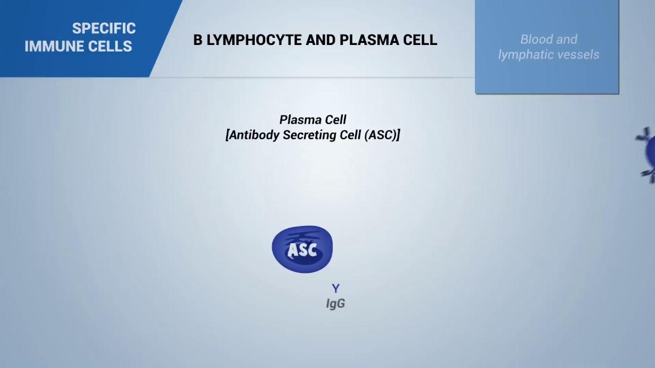 333 b lymphocyte and plasma cell youtube 333 b lymphocyte and plasma cell publicscrutiny Gallery