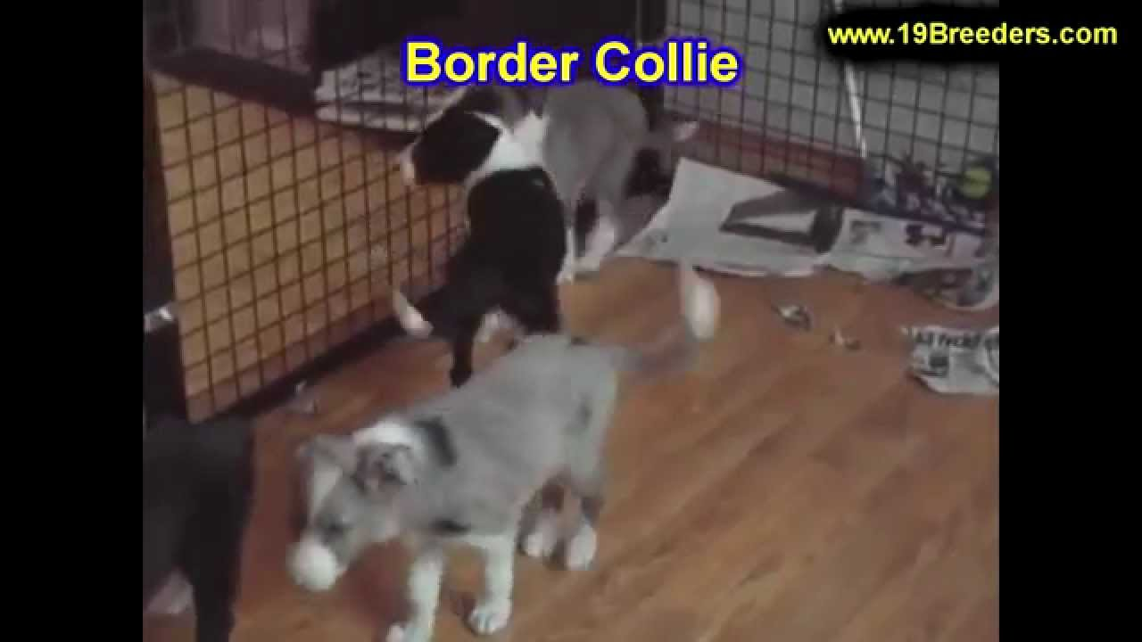 Border Collie, Puppies, Dogs, For Sale, In Louisville, Kentucky, KY