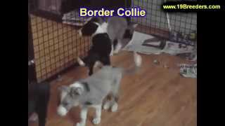 Border Collie, Puppies, For, Sale, In, Lexington, County, Kentucky, Ky, Bowling Green, Owensboro, Co