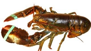 lobster is the cockroach of the sea
