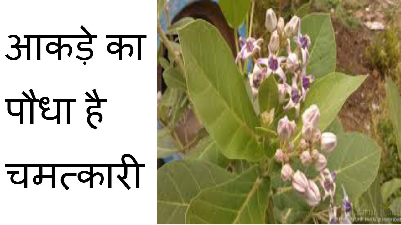 Image result for आक-अर्क के पौधे