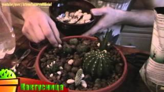 Комнатные растения кактусы посадка уход Артём Панарин