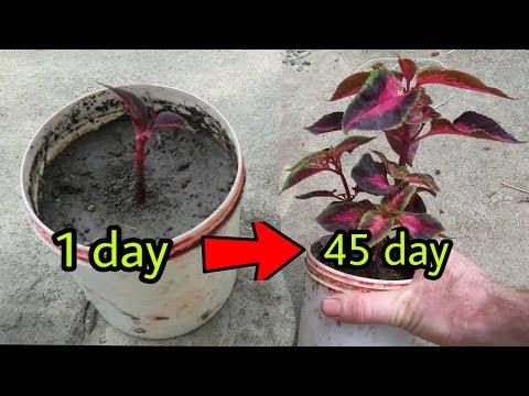 How to grow coleus plant from cutting simple method in Hindi
