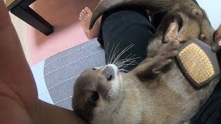 I tried brushing a cat and an otter [Otter life Day 120] 猫とカワウソをブラッシングしてみた結果