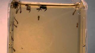 Mosquito Larvae Developing in Stagnant Water