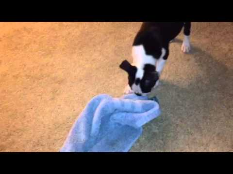 Boston terrier puppy 2 months old