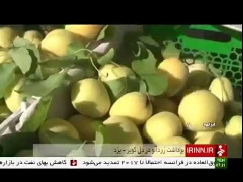 Iran Abar-Kuh county, Apricot picking چيدن زردآلو شهرستان ابركوه ايران
