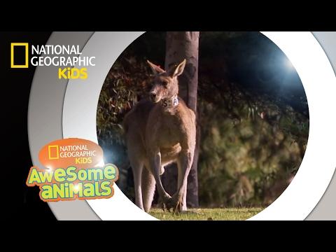 Kangaroo Kaos | Awesome Animals