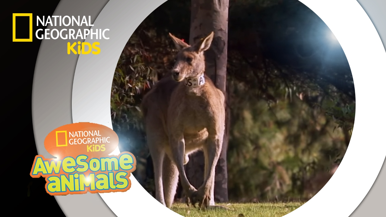 Kangaroo Kaos | Awesome Animals