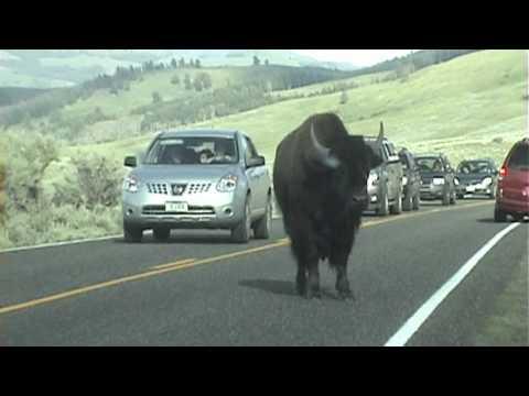 Buffalo playing in Lamar Valley, Yellowstone National Park