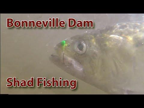 Bonneville Dam Shad Fishing - Fishingwa.us