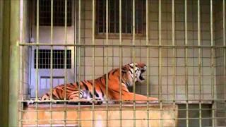 閉園間近の浜松市動物園で、夕食後に、トラが咆哮をあげたです。 それは...