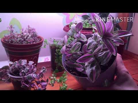 Вопрос: Где можно заказать подешевле Тайские вариегатные растения?