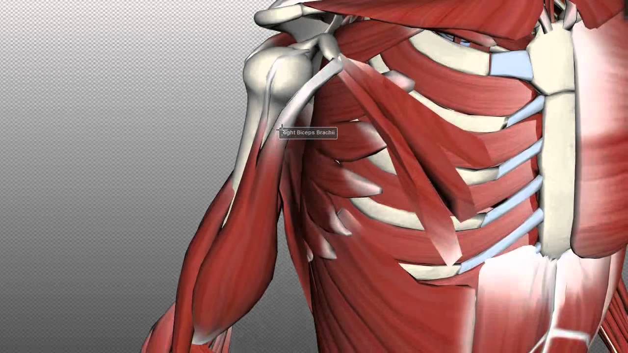 arm muscle anatomy diagram [ 1280 x 720 Pixel ]