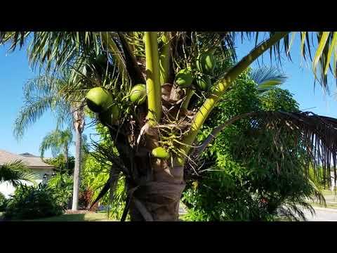 """""""Green Dwarf"""" Coconuts in Cape Coral."""