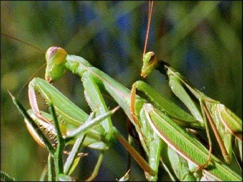 Mantis Mating - Wildlife On One: Enter The Mantis - BBC