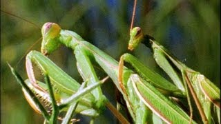 Mantis Mating - Wildlife On One: Enter The Mantis - BBC