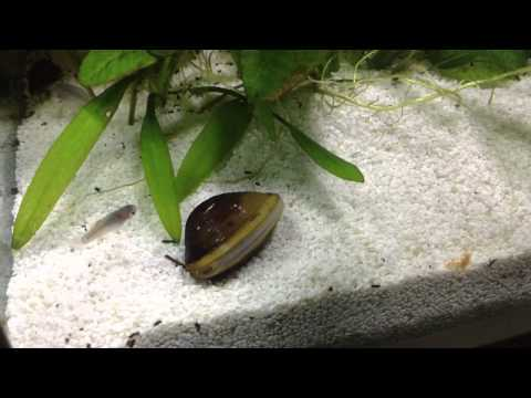 My Freshwater Clam Filter Feeding