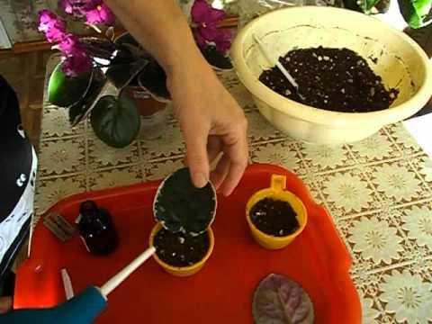 Как посадить лист фиалки. Как вырастить фиалку из листа .