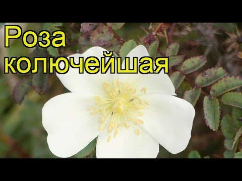 Роза колючейшая. Краткий обзор, описание характеристик, где купить саженцы rosa pimpinellifolia