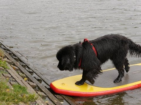Newfoundland dog water rescue training