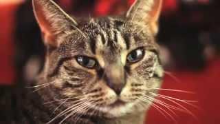смотреть видео приколы смешная кошка cats