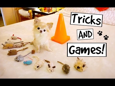 CUTE PUPPY Sized Chihuahua Fun Dog TRICKS and GAMES