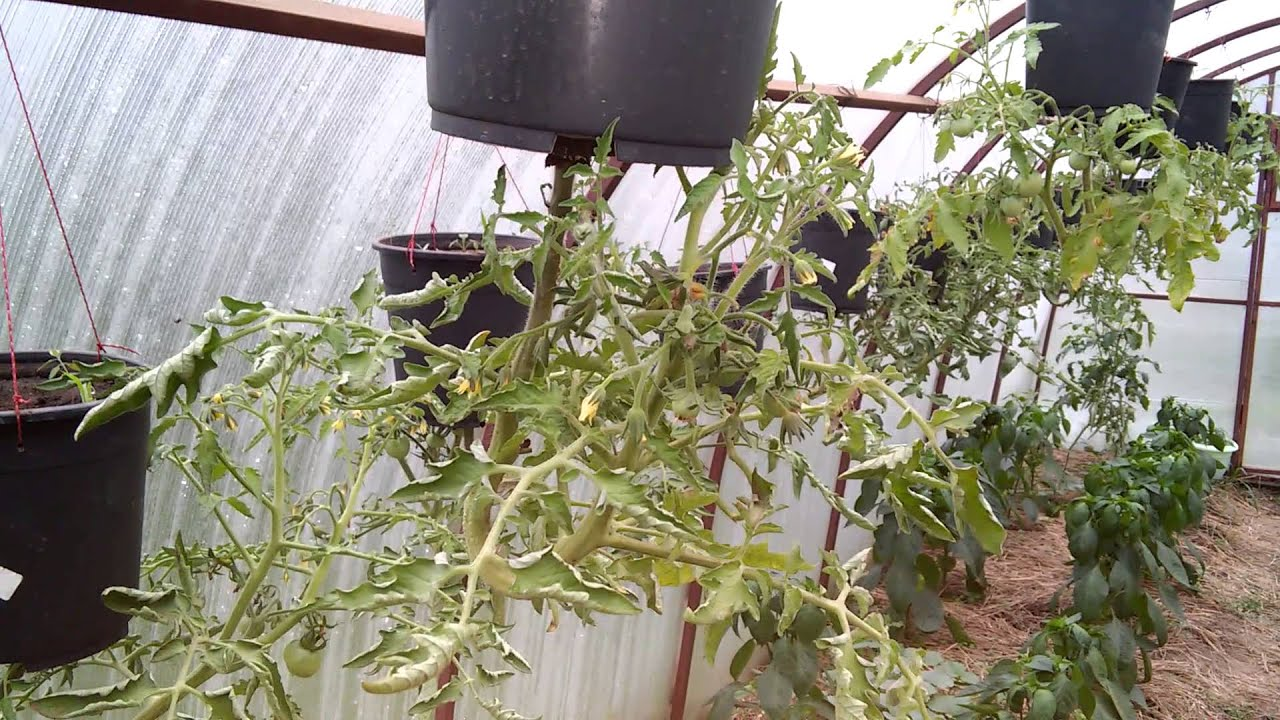процесс томаты вверх ногами картинки выбирай любой