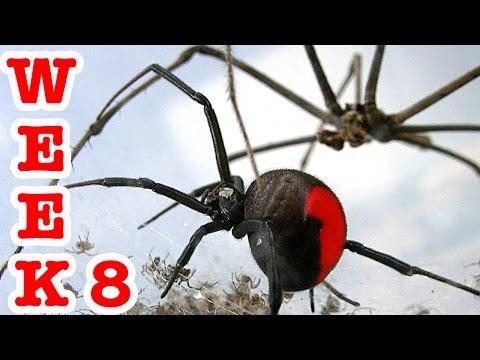 Redback Spider Attacks 4 Spiders Die Crazy Spiderlings Week 8 Spiders Escape!