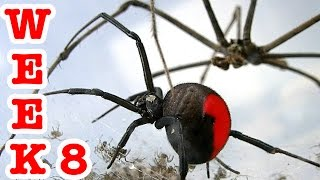 Redback spider attacks 4 spiders die crazy spiderlings week 8 spiders escape!