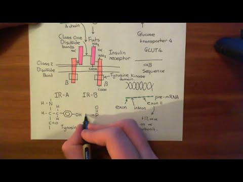 The Insulin Receptor Part 2