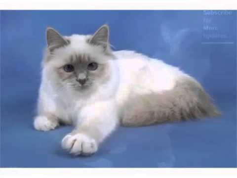 Birman Seal Point - Cat Pictures