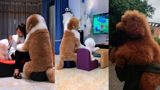 Gigantic Fluffy Poodle Dogs Love Being Carried Everywhere  | Panda Love