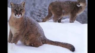 Cougar As A Totem Animal