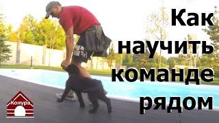 Как научить щенка ходить рядом