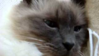 Quincy The Talking Birman Cat
