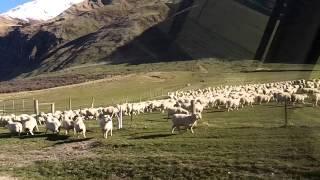 牧草地から牧草地への羊の行進。 人よりも羊の数が多いニュージーランド...