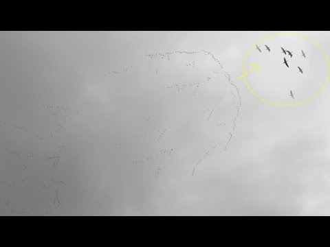 Wild Geese Flying in amazing Formation.Wielki klucz odlatujących ptaków.