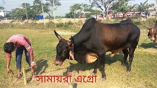 099   Fighter Bull   Afternoon Outting   Getting Ready   Shamaira Agro   ZbGH 2019
