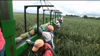 Pineapples: Luxury fruit at what price? | Guardian Investigations