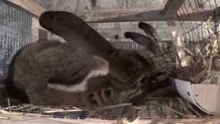 Спаривание кроликов Фландр и Серый великан(Спаривание кроликов, Случка, Кролиководство, кролики, Фландр, Серый великан, самка, самец, гигант, кормление,..., 2015-03-15T17:36:48.000Z)