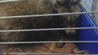 У Сумах знайшли єнотовидного собаку