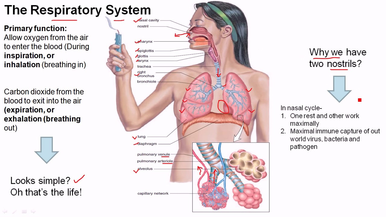human respiratory system The human respiratory system the pathway air enters the nostrils passes through the nasopharynx,  the oral pharynx through the glottis into the trachea into the right and left bronchi, which branches and rebranches into.