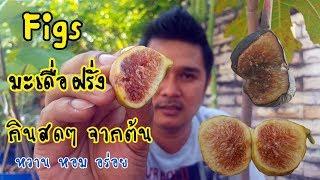 เก็บมะเดื่อฝรั่ง Figs กินสดๆ จากต้น : เกษตรผสมผสาน EP.38