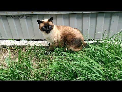 Тайский кот Оскар на прогулке в сильный ветер! Тайские кошки - это чудо! Funny Cats