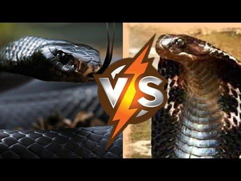 Вопрос: Какая змея опасней – королевская кобра или черная мамба?