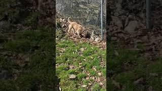 Bubba, the golden retriever / Irish wolfhound mix