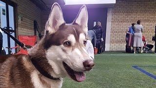 ХАСКИ - выставка Планета собак ♦ HUSKY - PetExpo 2016 LKBA CACIB Dog Show