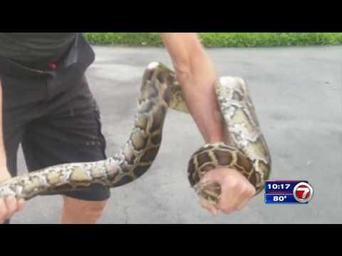 Pembroke Pines man finds python inside garage, is bitten during struggle
